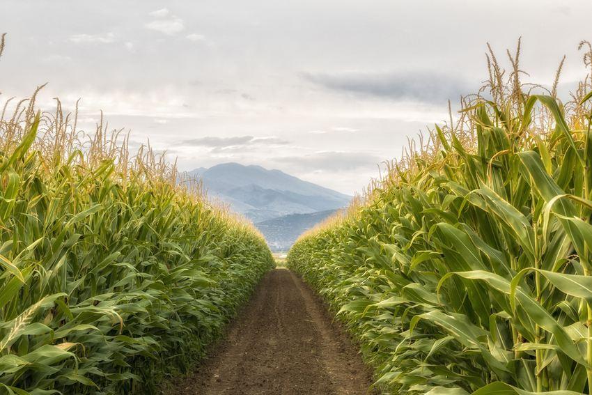 Un champ de maïs, remarquez l'uniformité et l'homogénéité des plantes