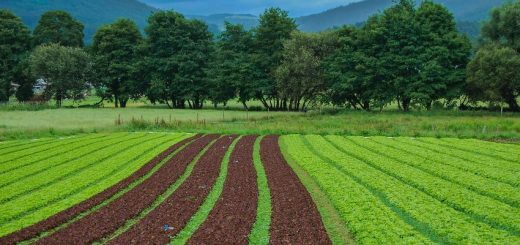 Nous proposons le point de vue d'une agricultrice, Michelle Miller, sur l'utilisation des semences paysannes, ces semences reproductibles, sur l'agriculture moderne.